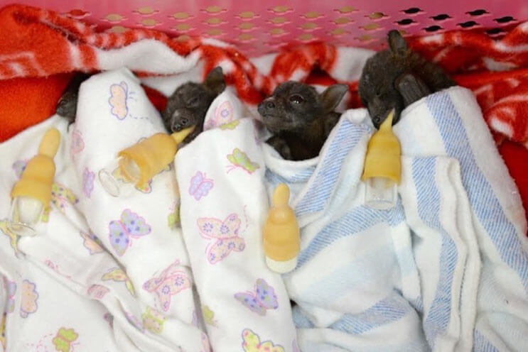 Esta rescatista evita que una camada de murciélagos tengan un trágico final 7