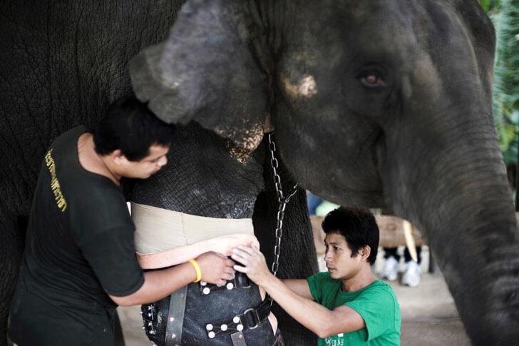 Este elefante perdió su pierna por acciones humanas pero estas personas hicieron que vuelva a caminar 01