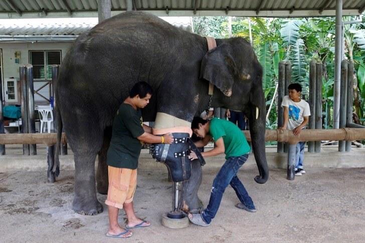 Este elefante perdió su pierna por acciones humanas pero estas personas hicieron que vuelva a caminar 02