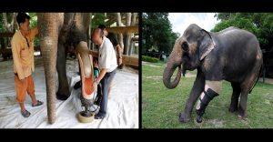 Este elefante perdió una pierna pero estas personas hicieron que vuelva a caminar