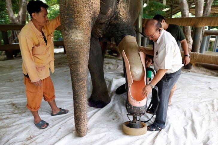 Este elefante perdió su pierna por acciones humanas pero estas personas hicieron que vuelva a caminar 04