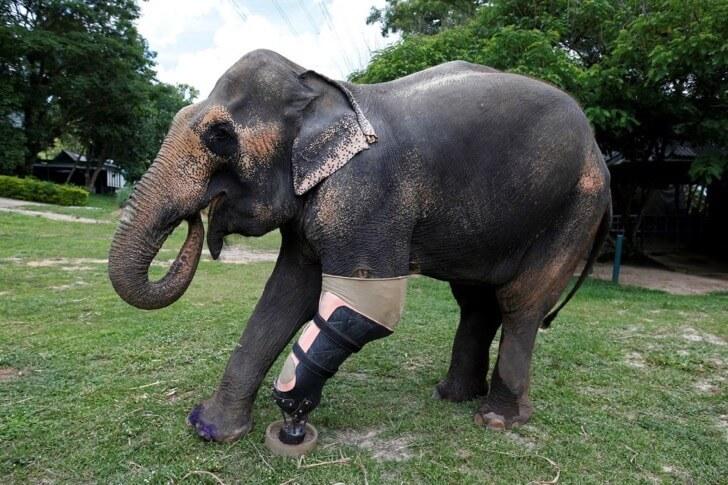 Este elefante perdió su pierna por acciones humanas pero estas personas hicieron que vuelva a caminar 09