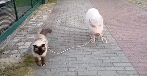 Este gato solo se deja pasear por un amigo un tanto peculiar
