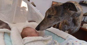 Este perro de carreras le temía a los humanos hasta que nació su hermano