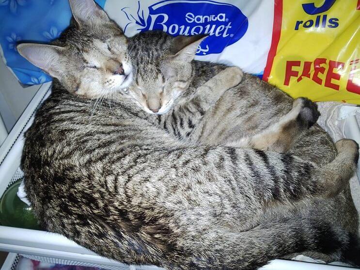 Estos tres gatos son capaces de ver a través del corazón 09