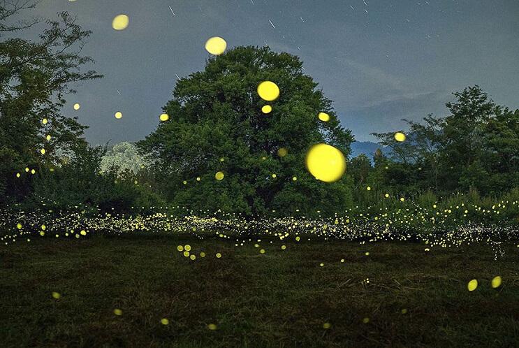 Fabulosas fotografías de luciérnagas que invaden Japón durante el verano 01