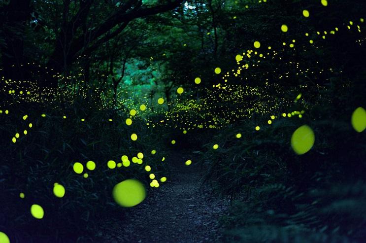 Fabulosas fotografías de luciérnagas que invaden Japón durante el verano 03
