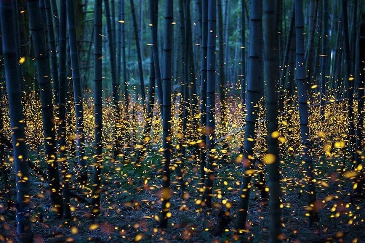 Fabulosas fotografías de luciérnagas que invaden Japón durante el verano 04