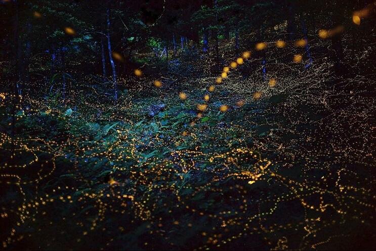 Fabulosas fotografías de luciérnagas que invaden Japón durante el verano 06