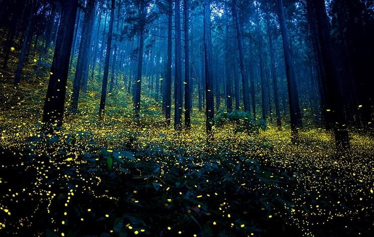 Fabulosas fotografías de luciérnagas que invaden Japón durante el verano 08