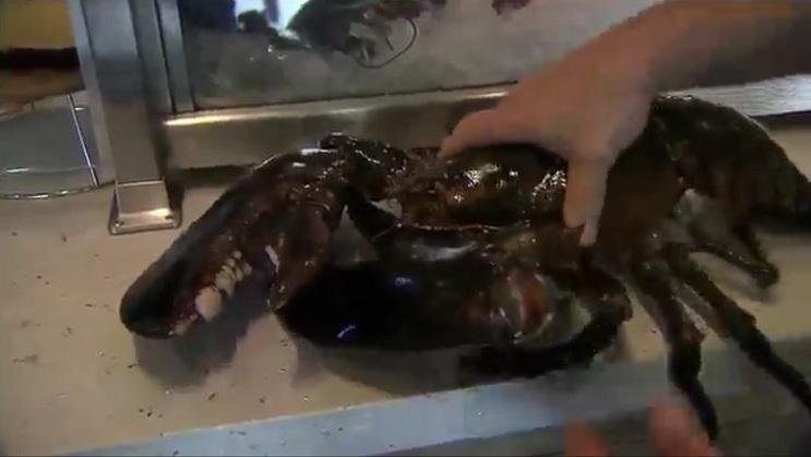 Langosta gigante de 100 años fue liberada por chef de comida marina 1