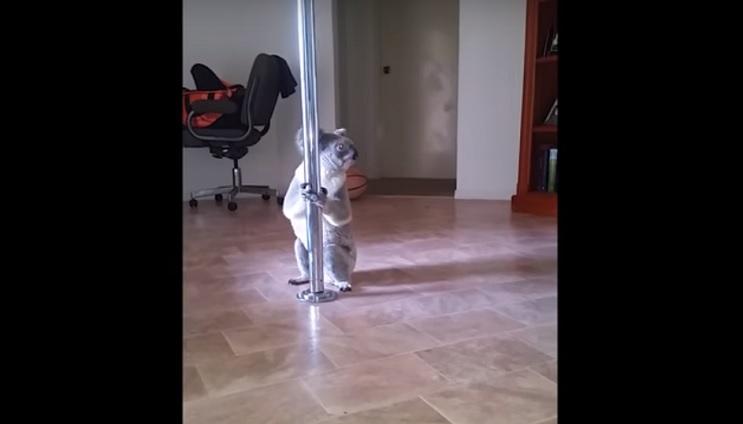Una mujer regresa a su casa y encuentra un koala practicando pole dance 1