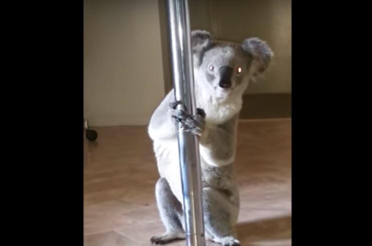 Una mujer regresa a su casa y encuentra un koala practicando pole dance 2