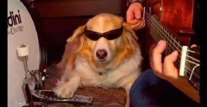 Conoce a Maple, el perro músico que se luce tocando junto a su amo
