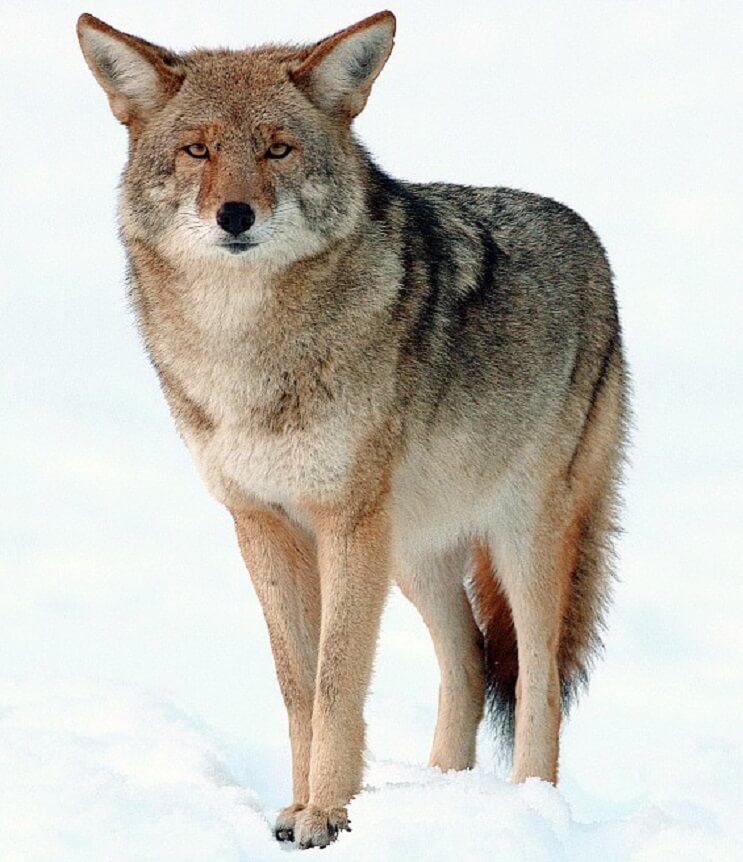 2009-Coyote-Yosemite