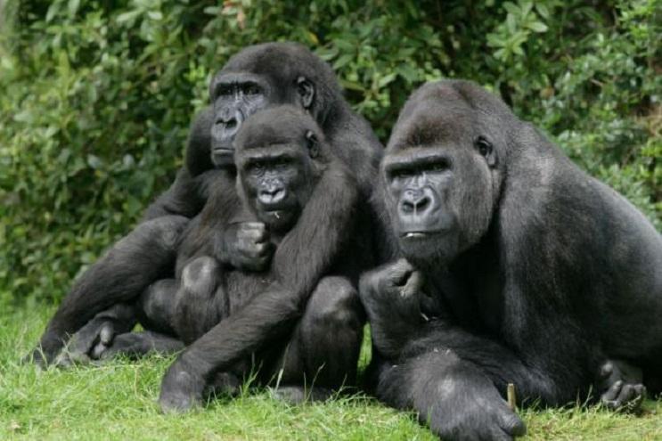 7-cosas-que-no-sabias-sobre-los-gorilas-4
