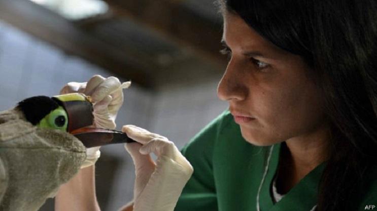 Conoce a Grecia, el tucán con una prótesis de pico 3D 2