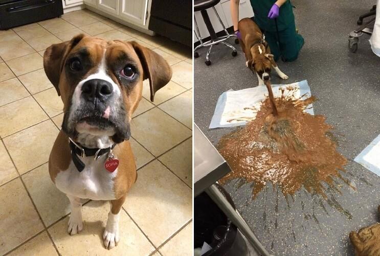 Conoce por qué nunca debe darle chocolate a tu perro 04