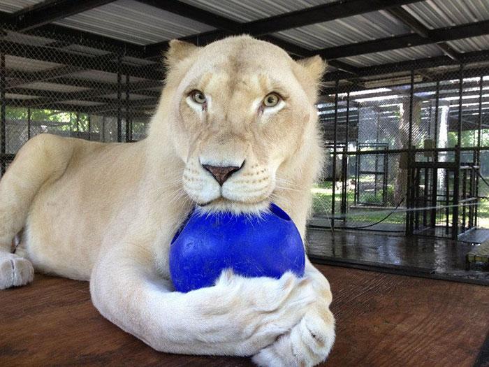 Esta leona nos enseña que jamás hay que perder las esperanzas para vivir y amar 11