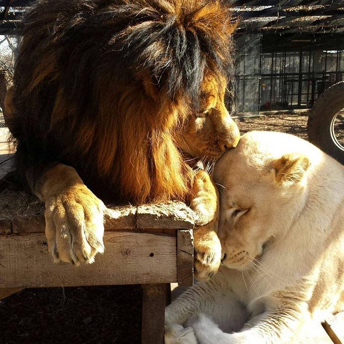 Esta leona nos enseña que jamás hay que perder las esperanzas para vivir y amar 5