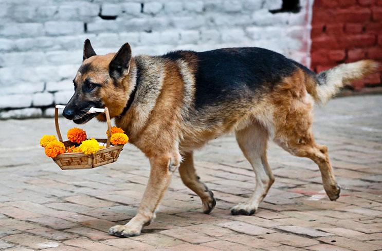 Kukur Tihar, festival que rinde homenaje a los perros como debe ser 7