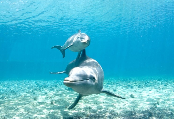Las mamás delfines cantan a sus crías cuando aun están en el útero 1