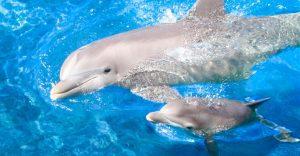 Las mamás delfín cantan a sus crías cuando aun están en el útero