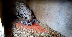 Mamá guepardo da a luz a cinco hermosos cachorros