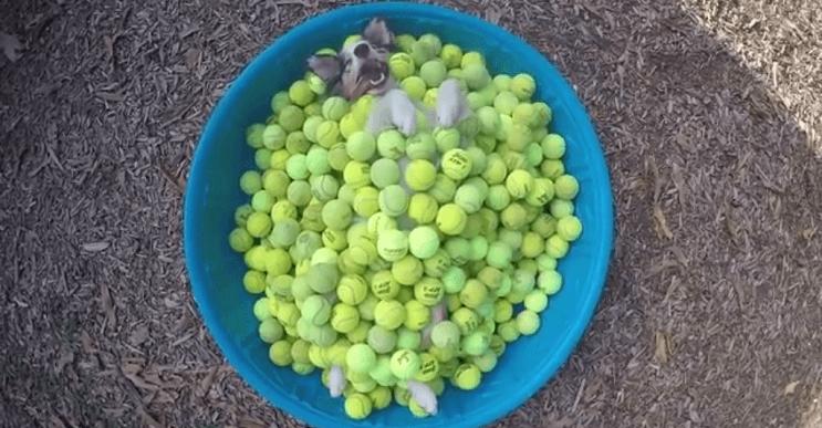 Nada más placentero que este perro con su piscina llena de pelotas de tennis