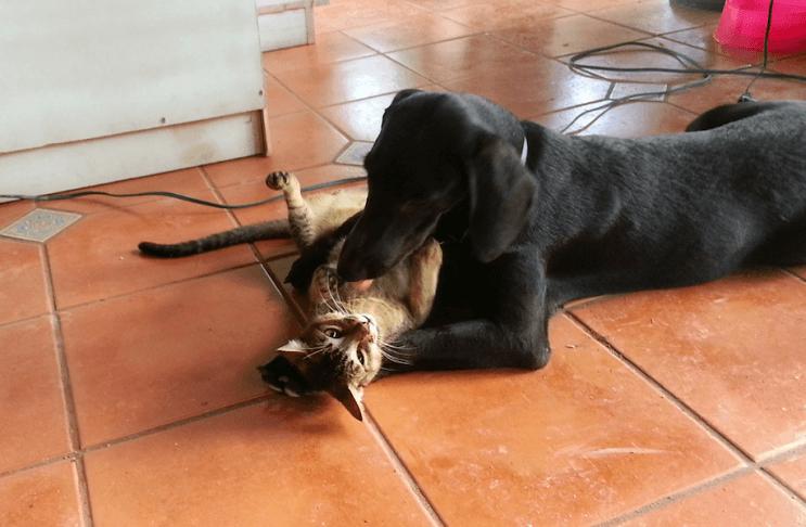 Perrita gaia jugando con gato