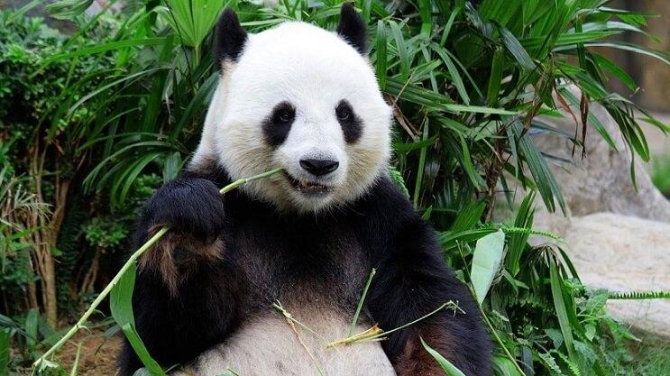 oso-panda-bambu
