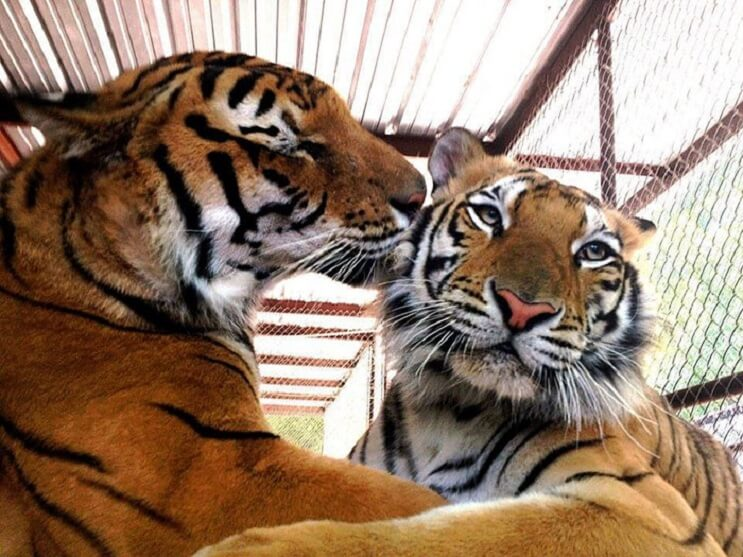 rescue-tiger-recovery-circus-aasha-8