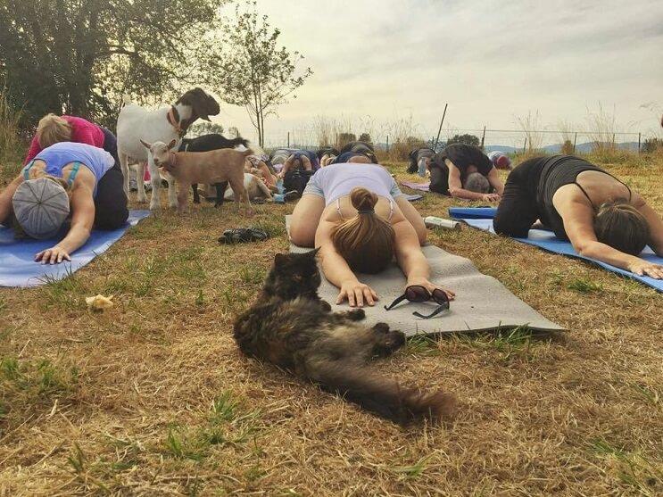 a-estas-cabras-les-gusta-el-yoga-y-lo-hacen-de-una-forma-divina-4