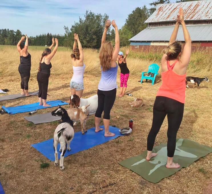 a-estas-cabras-les-gusta-el-yoga-y-lo-hacen-de-una-forma-divina-7