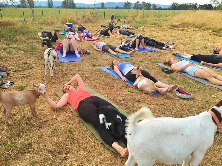 a-estas-cabras-les-gusta-el-yoga-y-lo-hacen-de-una-forma-divina-9