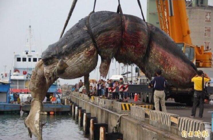 encontraron-una-ballena-muerta-en-holanda-y-lo-que-tenia-en-su-estomago-no-tiene-perdon-cetaceo