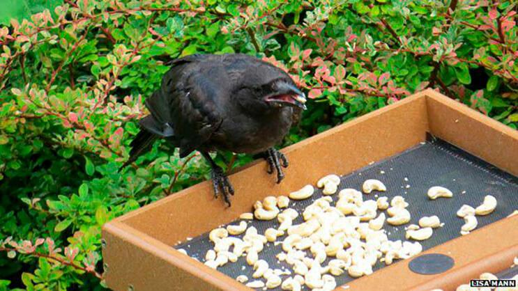 esta-nina-alimentaba-cuervos-y-anos-despues-le-traen-regalos-4