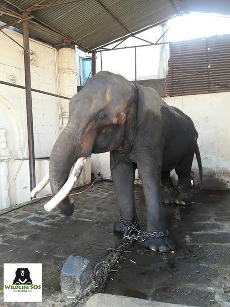 este-elefante-fue-puesto-en-libertad-y-su-felicidad-no-podria-ser-mayor-1