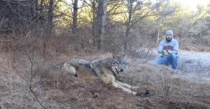 Este hombre puso su vida en peligro para salvar la de este lobo lastimado