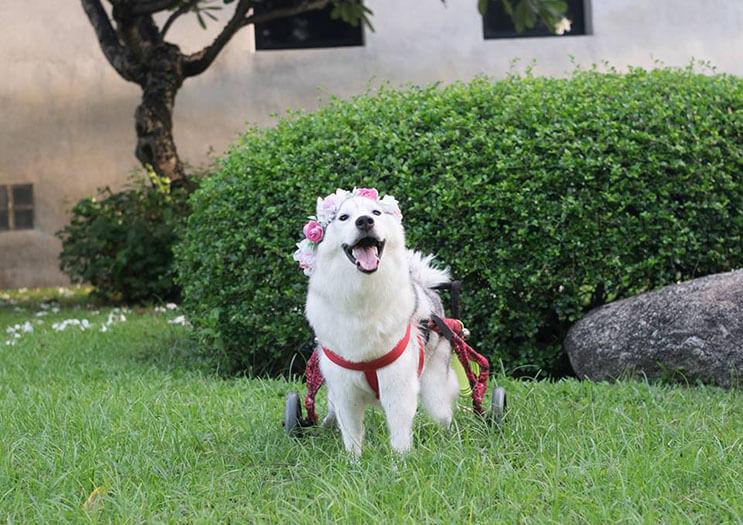 este-perro-nacio-sin-pies-y-con-su-nueva-silla-de-ruedas-es-el-mas-feliz-del-mundo-1