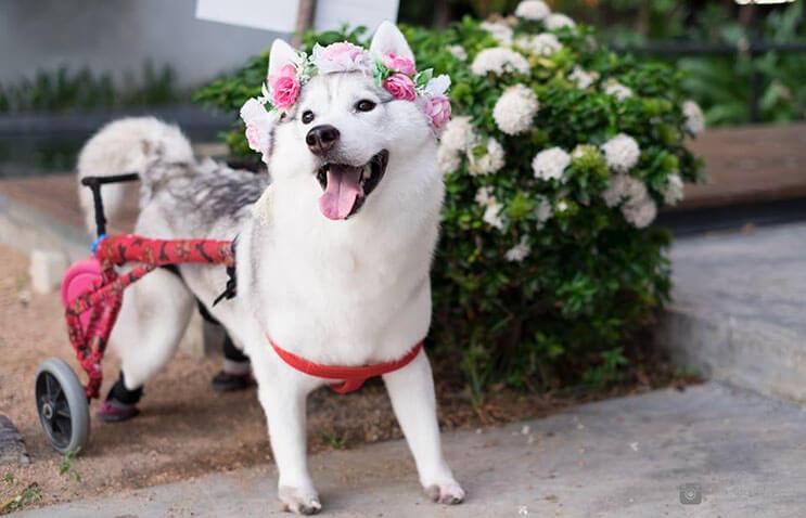 este-perro-nacio-sin-pies-y-con-su-nueva-silla-de-ruedas-es-el-mas-feliz-del-mundo-2