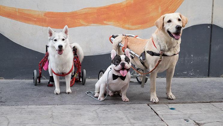 este-perro-nacio-sin-pies-y-con-su-nueva-silla-de-ruedas-es-el-mas-feliz-del-mundo-3