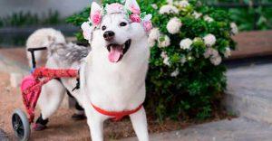 Este perro nació sin dedos, pero con su nueva silla de ruedas es el más feliz del mundo