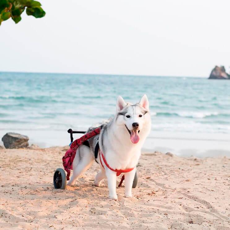 este-perro-nacio-sin-pies-y-con-su-nueva-silla-de-ruedas-es-el-mas-feliz-del-mundo-6