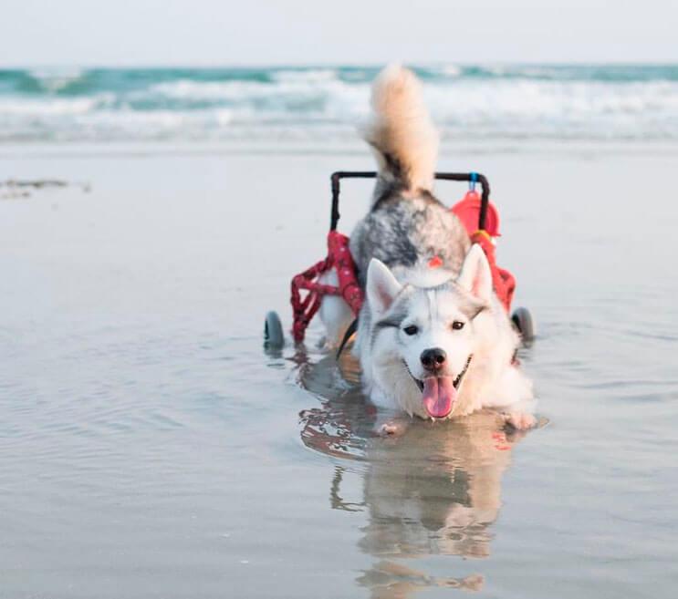 este-perro-nacio-sin-pies-y-con-su-nueva-silla-de-ruedas-es-el-mas-feliz-del-mundo-7