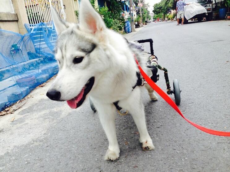 este-perro-nacio-sin-pies-y-con-su-nueva-silla-de-ruedas-es-el-mas-feliz-del-mundo-8