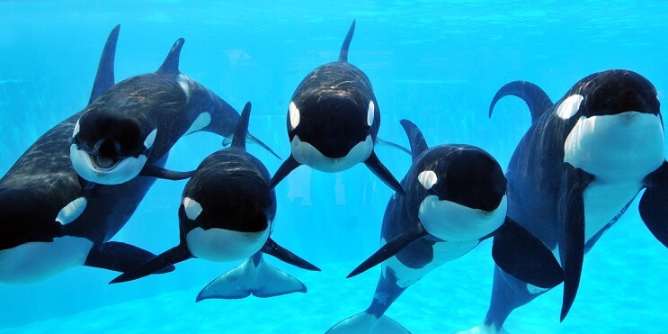 Finalmente, prohíben el uso de orcas para espectáculos 2
