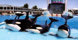 Finalmente, prohíben el uso de orcas para espectáculos