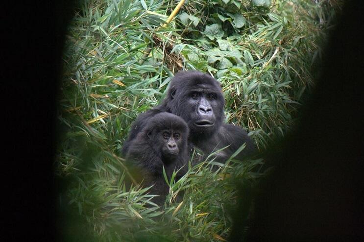 La triste realidad detrás de la foto de un hombre que abraza a un gorila 2