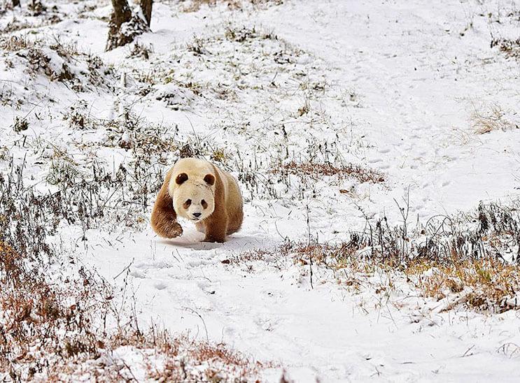 el-unico-panda-marron-del-mundo-al-fin-encontro-un-hogar-1